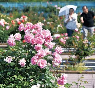 3千平方メートルの広い敷地に様々なバラが咲き誇る