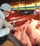 養豚農家ら「ひと安心」