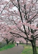春ふわり桜見頃に