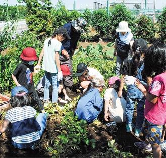 椎野さんの指導を受けながらジャガイモを掘る児童ら