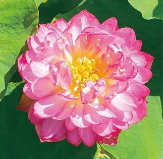 ピンクに色づく「紫玉蓮」=同園提供