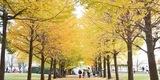 秋色に染まるイチョウ並木