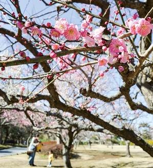 新林公園に咲く梅(=2月16日撮影)