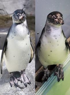 昨年10月と11月に同館で生まれたフンボルトペンギンの子ども(同館提供)