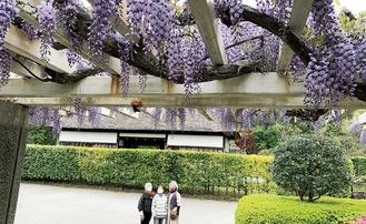 古民家前で鮮やかに咲くフジ(=13日、新林公園)
