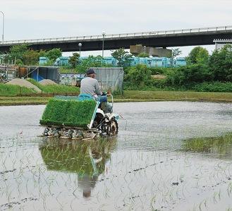 稲荷で酒米「五百万石」を植える長谷川さん
