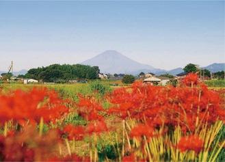 コースには小出川沿いの彼岸花と富士山を望むポイントも