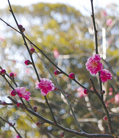 春はすぐそこ 梅ほころぶ
