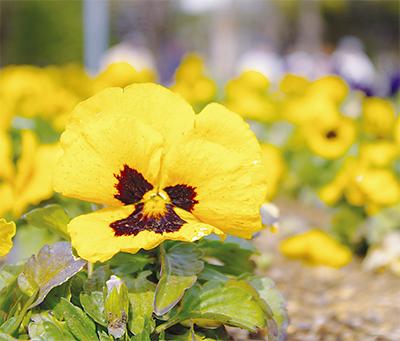 「純愛」の花が見頃