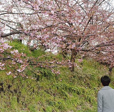 河津桜 ようやく開花