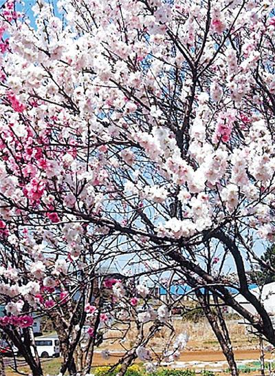 花桃の遊歩道完成