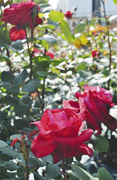 深紅のバラ見頃