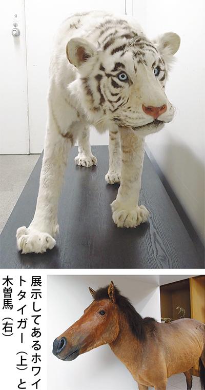 白虎(ホワイトタイガー)が日大博物館に