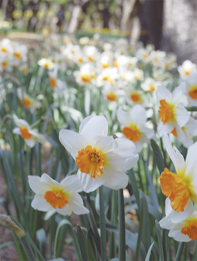 春の訪れ 水仙が見ごろ
