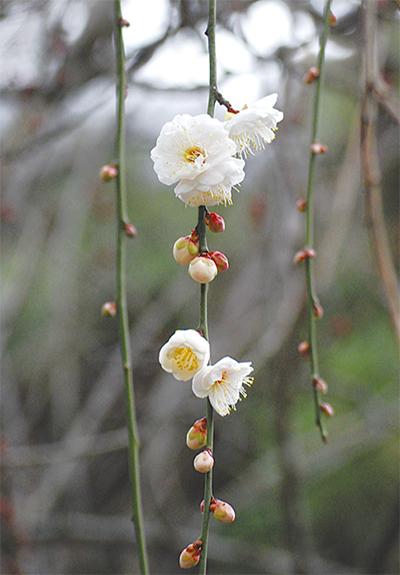 春の訪れ 梅が開花