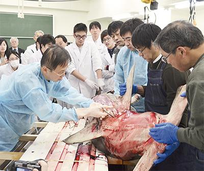 サメ解剖に興味津々
