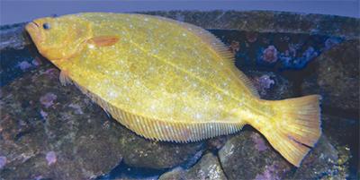新江ノ水初の黄金のヒラメ