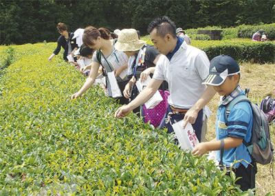 世界の茶師と茶摘み