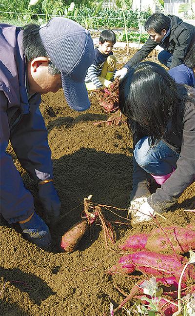 児童招き、畑で芋掘り