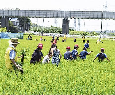 田んぼで草取りを体験