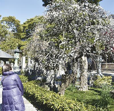春の訪れ 枝垂れ梅