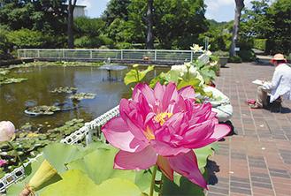 ハス池をまわる散策路で花を間近に楽しめる