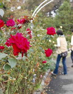 秋も深まり咲き誇るバラ(今月22日撮影)