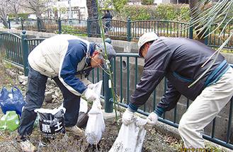 玉縄桜3本を植樹