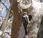 本堂前のサルスベリに営巣していたコゲラ