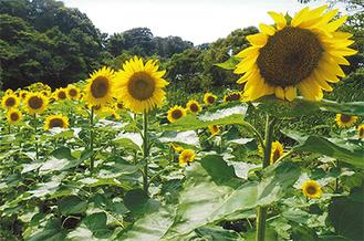 広町緑地で8月上旬に満開となった福島産のひまわり