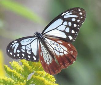 マーキングされたアサギマダラ。羽には「ミヨタ」などの情報が記されている