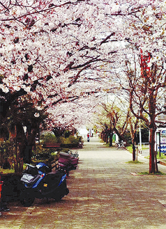 七里ガ浜のシンボルである桜のプロムナード