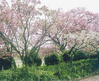 フラワーセンターに咲く「鎌倉桜」
