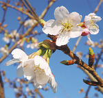 花をつける玉縄桜