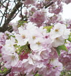 桐ヶ谷桜(写真提供:県立フラワーセンター大船植物園)