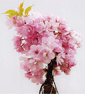 旭山桜の盆栽