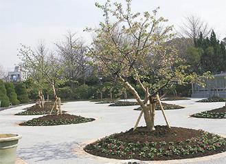 新たに整備された玉縄桜広場