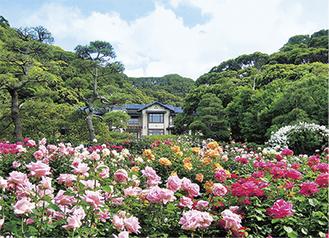 鎌倉文学館の敷地に広がるバラ園