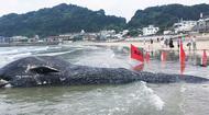 シロナガスクジラが漂着