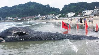 打ち上げられたクジラ(6日午前9時ごろ撮影、写真提供・細田遼さん)