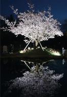 ひと足早い夜桜楽しんで