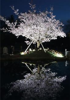 過去の玉縄桜ライトアップ