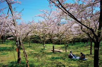 桜の下でお花見を