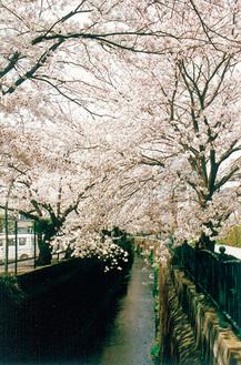 砂押川沿いの桜並木