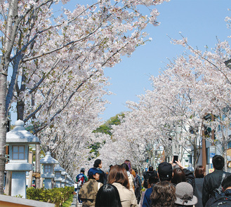 毎年多くの人でにぎわいを見せる段葛の桜並木