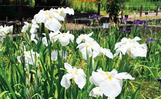 園内に咲くハナショウブ=6月17日撮影