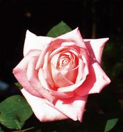新種バラ「長谷乙女」に