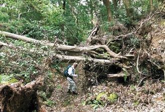 天園ハイキングコースの倒木(鎌倉市提供/10月24日撮影)
