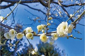 大輪緑萼梅(今年)