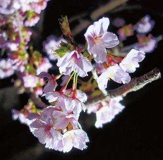 昼とはまた違った表情を見せてくれる夜の玉縄桜